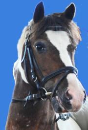 Braunschecke Little Champ, ein kleiner Strahlemann in toller Scheckfarbe des Christinenhofs (Ponykopf mit Trense)