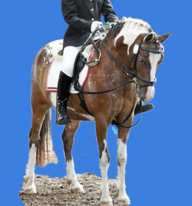 Das ist Little Champ, ein Pony Schecke zum Reiten im Reitunterricht beim Christinenhof in Oranienburg