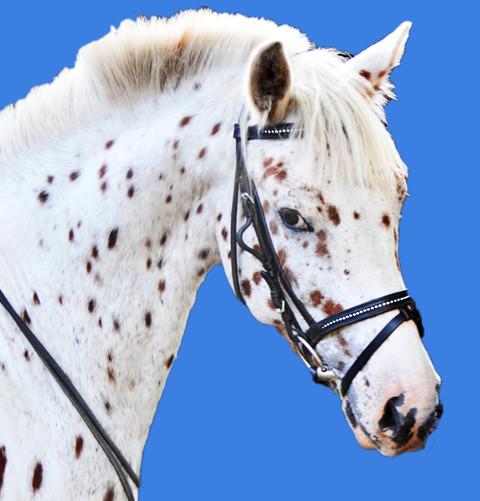 Das ist Daikiro, das Knabstrupper Pony vom Christinenhof in Oranienburg