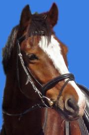 Sachsisches Warmblut oder auch Deutsches Sportpferd Lancelot, ein Brauner Wallach, Großpferd hat ein total niedliches Gesicht mit Blässe. Foto beim Christinenhof in Sachsenhausen