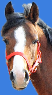 Friedrichshof Dacora ist eine braune Pony Stute, wunderbar für Reitanfänger im Reitunterricht. Foto vom Ponykopf mit Halfter aufgenommen in Oberhavel / Sachsenhausen bei Berlin