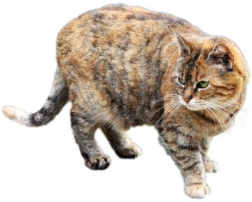 Zimti, black-torbie mit ganz wenig weiß Katze, ein Wildling, der auf dem Christinenhof gefüttert wird.