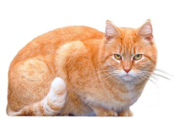 Weißspitz, Streuner Katze (Wildling) in red tabby white, sie wird in Oranienburg auf dem Christinenhof versorgt.