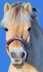 Freda ist ein Fjordpferd oder auch Norweger, dank dieser tollen Fjordstute könnt ihr bei uns nun auch diese Ponyrasse kennenlernen.