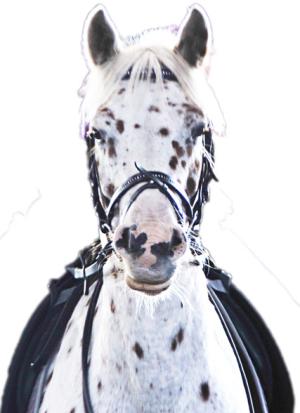 Knabstrupper Pony Daikiro reiten im Reitunterricht auf dem Reiterhof Christinenhof