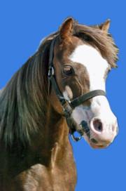 Welsh A Welsh Mountain Pony Caitlin ist ein schicker Kohlfuchs des Christinenhofs bei Berlin. Sie ist ein ideales Kinderpony und sehr rassetypisch.