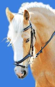 Prinzessinnenpferd Adina in wunderschöner Palomino Farbe mit weißer Mähne und goldenem Fell ist ein Pferd für den Reitunterricht beim Christinenhof in Sachsenhausen bei Berlin