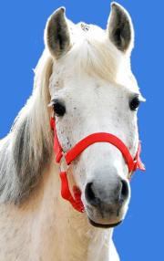 Schimmel Stute Wiesenhofs Gina ist ein zierliches, elegantes Welsh B Pony aus Oberhavel