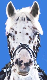 Knabstrupper Pony Daikiro ist ein Fuchstigerschecke wie Kleiner Onkel von Pippi Langstrumpf, guckt wie Ed total süß, Foto vom Ponykopf mit Trense in Sachsenhausen / Oranienburg
