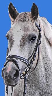 Schimmel Pony Kameruns Gerry ist ein wunderschönes Deutsches Reitpony vom Christinenhof in Sachsenhausen bei Berlin. Foto vom Kopf mit Trense