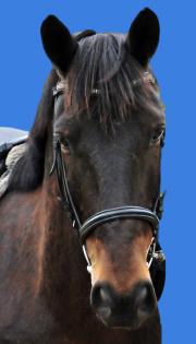 Bandit - Goldfuchs Sabino, ein Wohlfühlpferd mit breiter Blässe. Er hat Goldglanz im Fell und ist ein Verlasspferd in unserer Reitschule in Oranienburg in Sachsenhausen.
